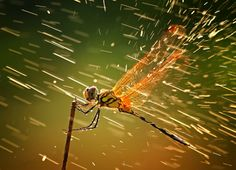 Incredible shot of a dragonfly in the rain. Winner of the National Geographic Photo Contest 2011.