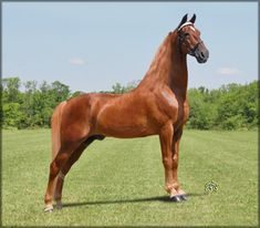 tennessee walking horse stallions | charmer at 24 years old photo taken july 2010 by pj wamble
