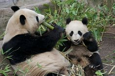 Super Boo Sunday at San Diego Zoo | Mom Bai Yun and her 18 m… | Flickr