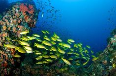 SS Yongala Dive Site: Snapper #diving #travel  Dive, dive, and continue diving until you become a part of the life under.