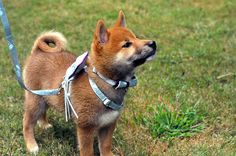 The most adorable wedding-harness client we've had yet! This little guy is going to steal the show when he carries the rings down the aisle... 5 Year Olds, Pet Collars, Shiba, Corgi, Guys, Rings, Wedding, Animals, Valentines Day Weddings
