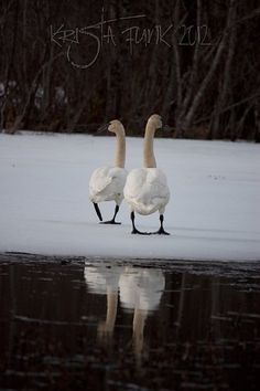 Trumpeter Swans Walking Away; Haines, Alaska