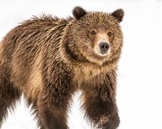Grizzly by Troy  Harrison - Photo 127421709 / 500px