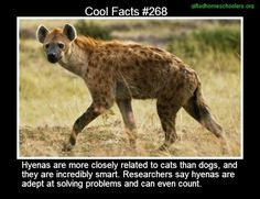 Cool facts #268  http://www.telegraph.co.uk/earth/wildlife/9530134/Hyenas-are-as-bright-as-primates-research-shows.html