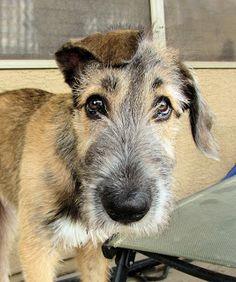 Irish wolfhound, looking adorable