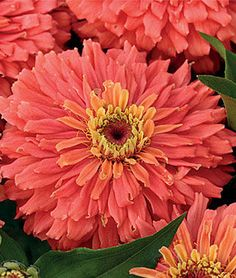 Zinnia, Senora™.This is one of the prettiest, most eye-catching zinnias we've encountered.