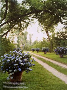 Large dramatic blue hydrangeas in pots. country road.  This is gorgeous!