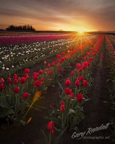 Sunrise in The Tulips Fields. Woodburn, Oregon