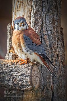 Sparrow Hawk by BillBoehm