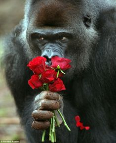~~These aren't bananas! A gorilla at Paignton Zoo sniffs a bunch of roses by Richard Austin~~