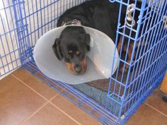 Our Rottie Lola has to wear an Elizabethan collar after surgery. She soon learned how to get in and out of her crate with it on. (She loves to sleep in her crate.)