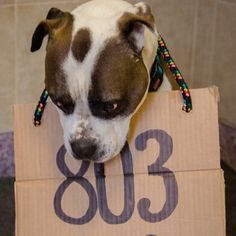 Let us help Brrr find his forever home! 803 days in the shelter, still waiting for someone to adopt him :(