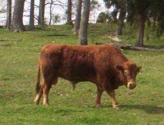"""This is """"Big Red"""". He keeps the Limousin Cattle population booming here at the farm"""