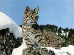 Papéis de Parede Grátis para PC - Grandes felinos: http://wallpapic-br.com/animais/grandes-felinos/wallpaper-32291