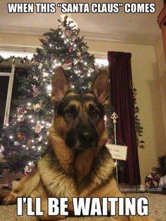 Watch out Santa!!! #germanshepherd #dogs