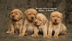 Puppies! | Five Weeks Old | Fox Red Labrador | Balsam Branch Kennel |  fox-red-lab-puppies-balsam-branch-kennel-trb-5wks-males