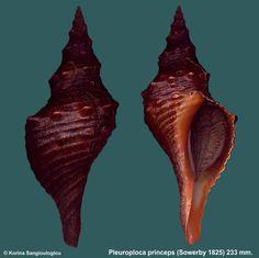 Pleuroploca princeps (Sowerby 1825) - K Sangiouloglou