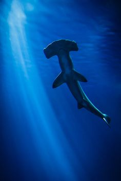 """The oceans ballerina"" the hammerhead shark. I heard a marine biologist call them that on Discovery Channel when I was really young and I never forget it. That was the moment I realized that this was my favorite animal ever."
