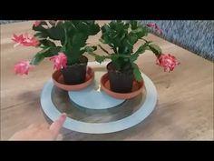 Craciunita cactus Schlumbergera Ghid de ingrijire pentru tot anul - YouTube Cactus, Plants, Garden
