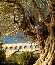 Ancient olive tree and Pont du Gard near Nimes, Languedoc France. © Brian Jannsen Photography