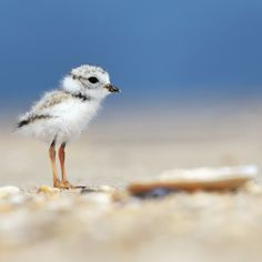 Photo of Piping Plover chick in New Jersey, taken by Ming Chiou https://www.bird-rescue.org/get-involved/donate-pow.aspx