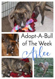 Adopt-A-Bull Arlee in upstate NY | http://www.thelazypitbull.com/2016/01/adopt-a-bull-arlee/