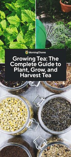 Growing Tea: The Complete Guide to Plant, Grow, and Harvest Tea tea benefits tea blends tea garden tea photography tea recipes Growing Tea, Growing Herbs, Growing Vegetables, Gardening For Beginners, Gardening Tips, Permaculture, Tee Design, Green Tea Plant, Acid Loving Plants