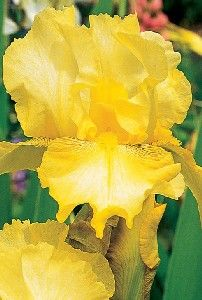Irises are grown from both seed and root separation. The roots, or Rhizomes, are easily separated and replanted. The Rhizome looks like a long, thin potato with roots underneath. When transplanting, separate the Rhizome. Make sure to have some root and a leaf or two in each section. Plant the Rhizomes near the surface with the roots below. Space them a foot or so apart . They will fill in the spaces quickly.
