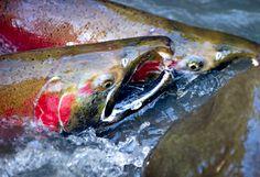 Wild Oregon coast coho salmon swim upstream while spawning in a small creek near Glide, Ore., on Tuesday, Jan. 3, 2012.