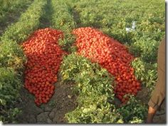 Tomato Gardening | 10 Must Know Tomato Gardening Tips | Garden Stuffs