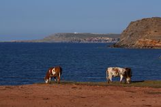 Cows on holiday :)