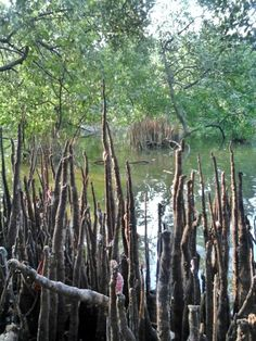 Mangrove (PIK) west jakarta