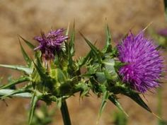 Jak využít bodláky pro zdraví   ostropestřec mariánský Herbs, Plants, Herb, Plant, Planets, Medicinal Plants