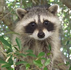 Raccoon Face Coloring Page