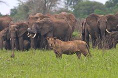 Lion amongst the elephants -- Robin Pope Safaris -- River Journey Safari   Photo Credit: Mike Unwin