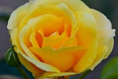 Yellow Rose by Luciano Lopez on 500px