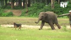 Dog & elephant having a great time chasing each other. (Click on photo for video)