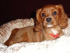 king charles spaniel - is that my Honey?