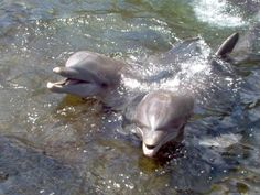 Swim with the dolphins at Dolphin Quest - Kahala Hotel & Resort on Oahu, Hawaii