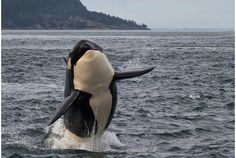 An orca wild and free, this is absolutely breathtaking
