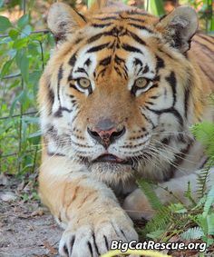 Andy Tiger had his e Big Cat Rescue, Animal Rescue, Funny Cats, Funny Animals, Wild Animals, Rainbow Waterfall, In The Zoo, Small Cat, Tigers