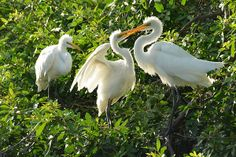 A pair of nesting great egrets prod their parent's beak for a feeding.