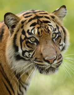 This tiger subspecies is found only on the Indonesian island of Sumatra. Fewer than 400 Sumatran tigers exist today. In 1978, experts estimated the population of Sumatran tigers at 1,000.