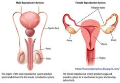 Images Of Female Reproductive System Diagram . Images Of Female Reproductive System Diagram Female Reproductive System Diagram Diagram Reproductive System Reproductive System Organs, Female Reproductive System Anatomy, Endocrine System, Circulatory System, Human Anatomy Drawing, Human Body Anatomy, Anatomy Art, Human Body Systems, Human Body Parts