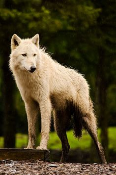 by Deidre Lantz | White Wolf : 25 Photos Perfectly Prove That Wolves Are The Most Beautiful Animals