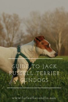 Jack Russell terriers are an energetic breed and have been used as hunting dogs for many years and can sometimes be seen on the beating line today. Jack Russell Puppies, Jack Russell Terrier, Bull Terrier Dog, Terriers, Awesome Dogs, Dogs Of The World, Family Dogs, Training Your Dog, Dog Life
