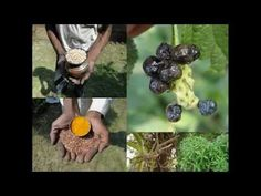Medicinal Rice P5L Formulations for Luculia Excess: Pankaj Oudhia's Medi...