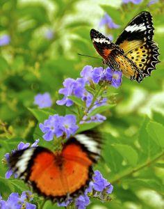Butterflies - Chicago Botanic Garden -
