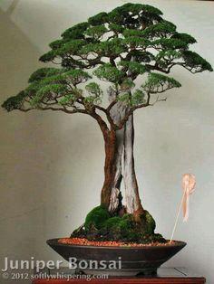 Bonsai De Junipero Juniperus L é Um Género Coníferas Pertencentes à Família Cupressaceae