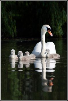 Beautiful Swan, Beautiful Birds, Animals Beautiful, Swan Pictures, Cute Pictures, Cool Photos, Swans, Animals And Pets, Baby Animals